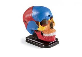 Crâne peint